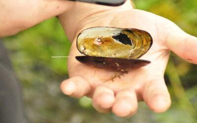 Kakahi, our Freshwater Taonga